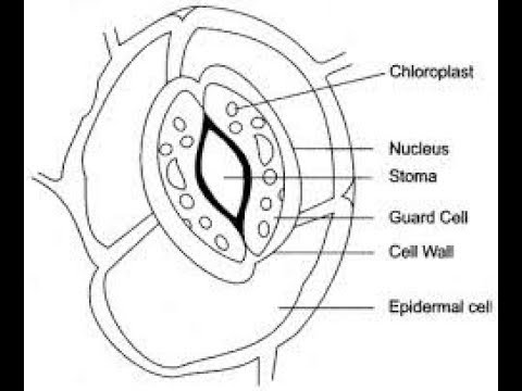 How I Make Stomata Diagram Very Simple By Pencil