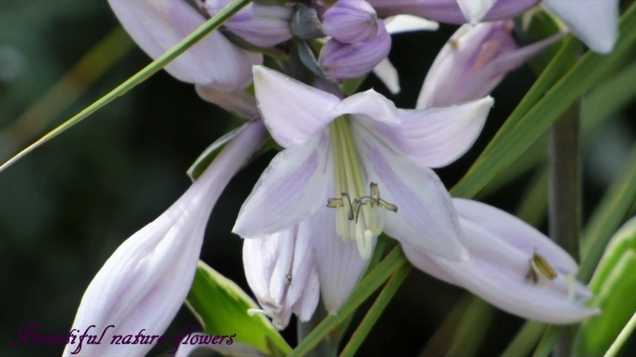 Plantain lilieshosta plantsflowersrnykliliomrnyliliom nvny plantain lilieshosta plantsflowersrnykliliomrnyliliom nvnyvirg izmirmasajfo