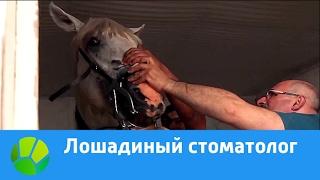 Лошадиный стоматолог | Живая Планета