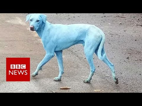 Mumbai's blue dogs- BBC News