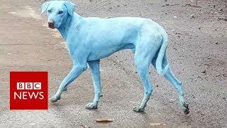 Mumbai's blue dogs- BBC News