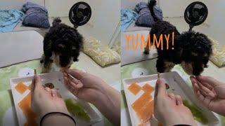 [강아지 수제 간식 만들기]  강아지 젤리 먹방