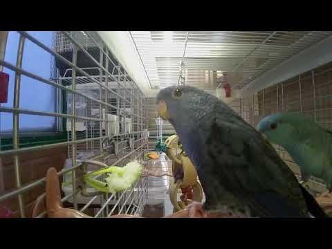 Моя первая пара попугаев Катерины (Bolborhynchus lineola)