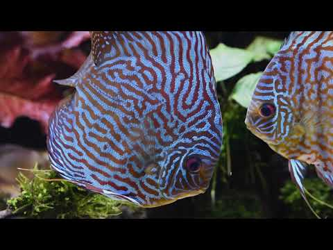 Planted Discus Tank - Nature Aquarium