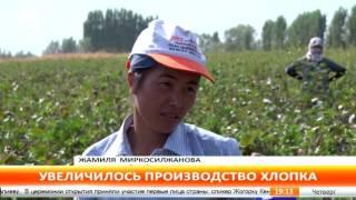 В Ошской области в последние годы увеличились площади хлопковых плантаций