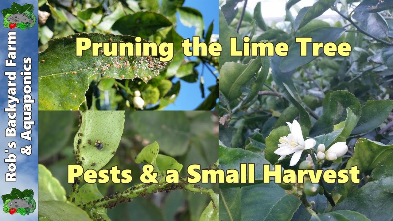 shaping the lime tree controling citrus tree pests a small harvest youtube
