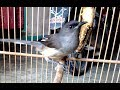 Lengkingan Burung Murai Air Kicauan Yang Tajam Dan Rapat  Mp3 - Mp4 Download