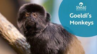 Goeldi's Monkeys