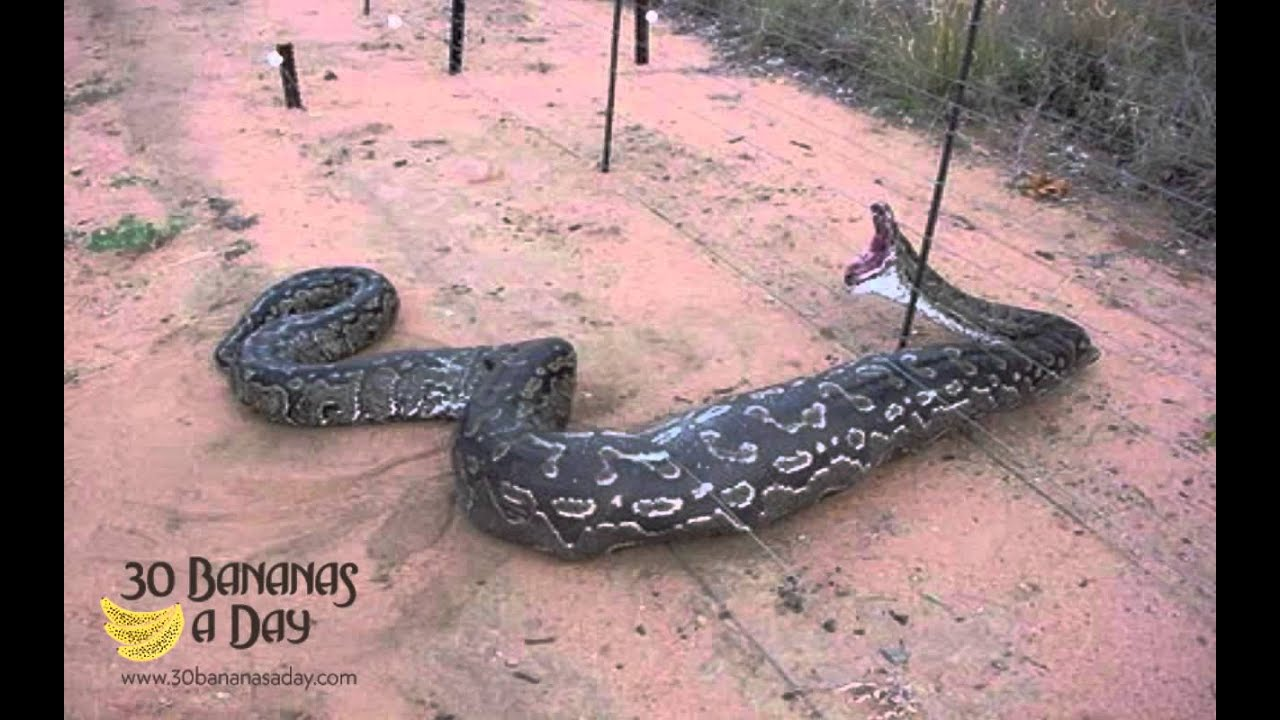 GIANT SNAKE EATS SECURITY GUARD: Real or fake? Durianrider ... - photo#7