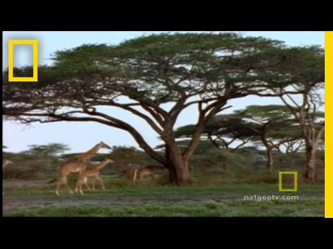Giraffe Capture | National Geographic