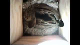 Australian Wood Ducks using a nest box