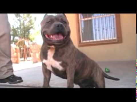 Tremor 1 American Pit Bull Bully in El Paso Texas Video.mpg