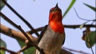 Suara Burung Baret Merah Kemade Cabe Jawa Untuk Memancing Bunyi Dan Untuk Pikat