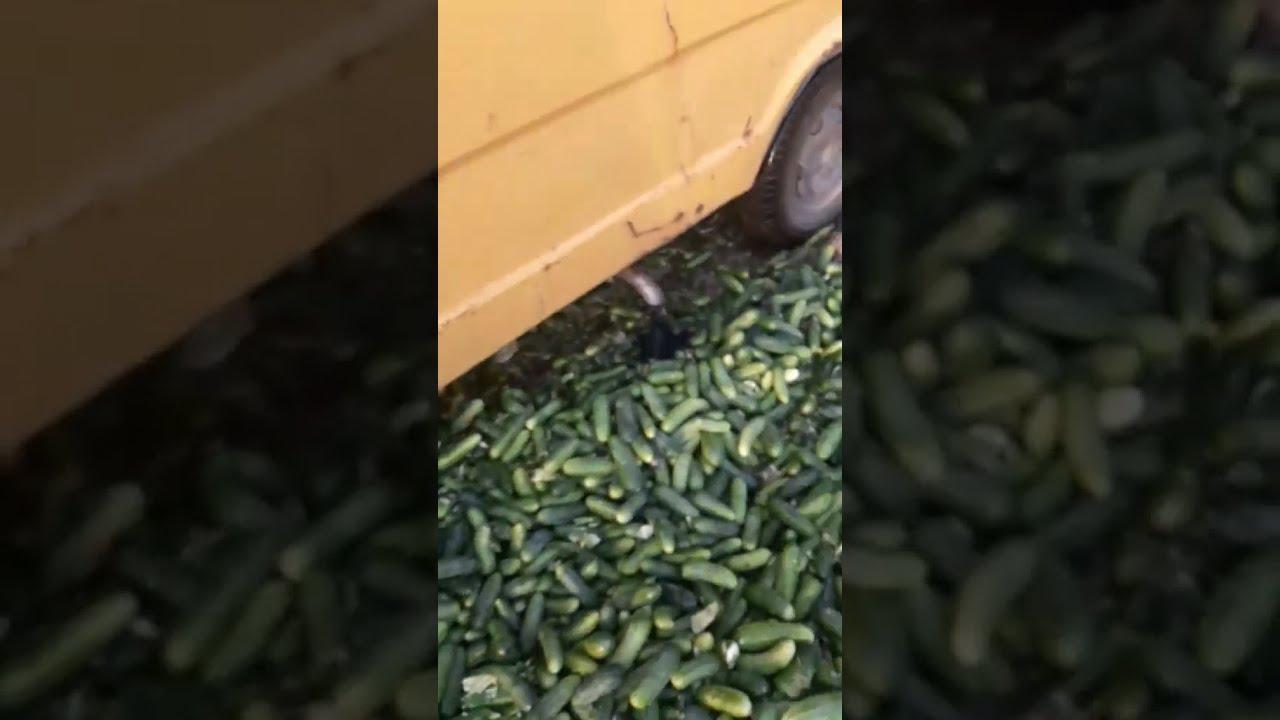 Ольшанец раздавил огурцы, которые сам выращивал - Першы Рэгіён