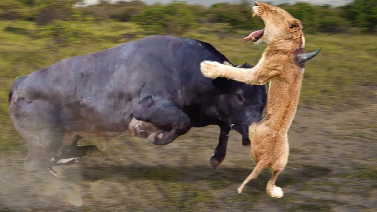 Download Mother Buffalo attacks Lion very hard to save her baby, Wild Animals Attack