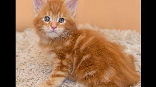 Котенок мейн-кун R3