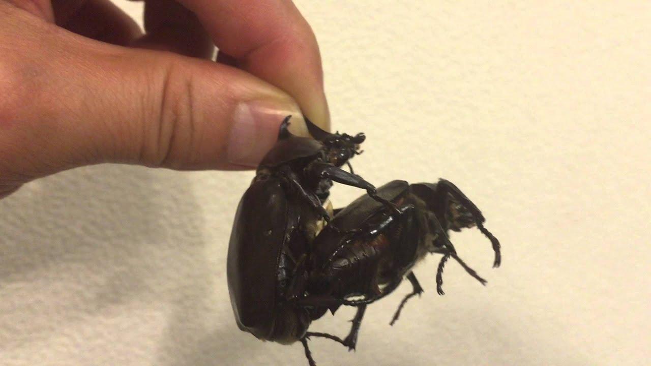 交尾 鳴き声 カブトムシ