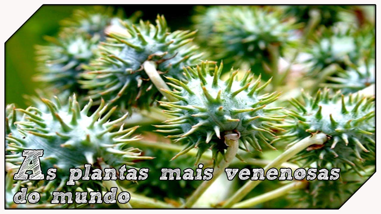 As plantas mais venenosas do mundo youtube - Plantas ornamentales venenosas ...