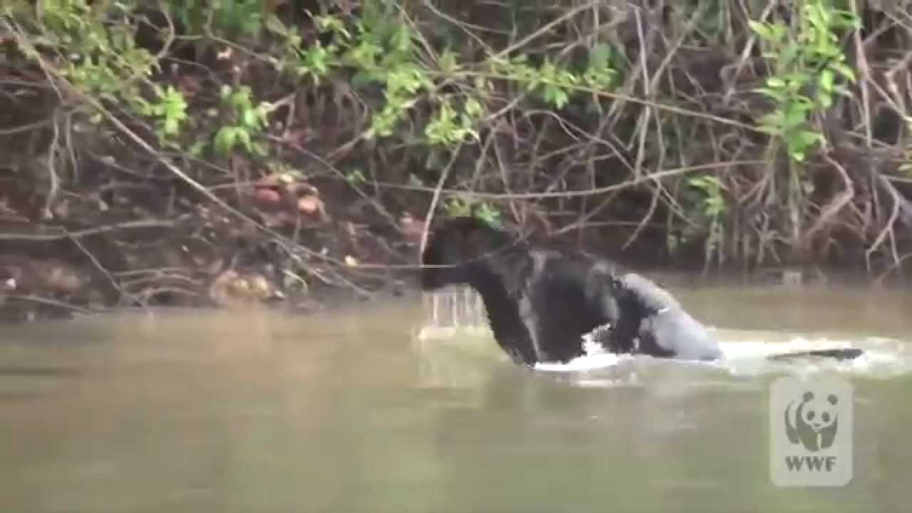 Charming Rare Black Jaguar Spotted Swimming In The Amazon