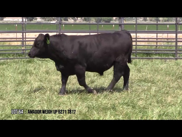 Mid Valley Bull Sale Lot 64