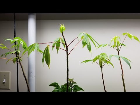 Kapok Trees From Cuttings