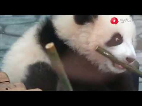 baby-pandas-🔴-cute-and-funny-baby-panda-videos-compilation-(2018.8.27)