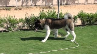 Akita Training Poison Proofing Course  - in Egypt