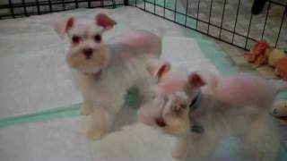 Teacup Schnauzers In White Chocolate