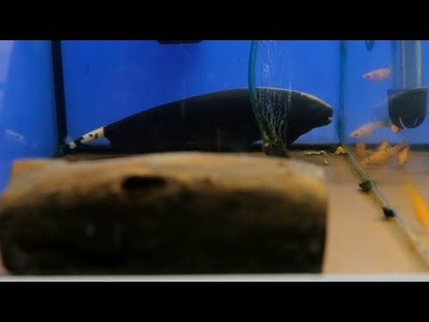 Top 10 Coolest Knifefish
