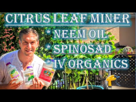 Citrus Leaf Minor | Organic Choices: (1) Neem Oil (2) Spinos