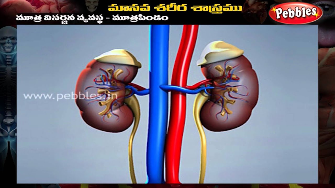 Human Body Urinary System Telugu Youtube
