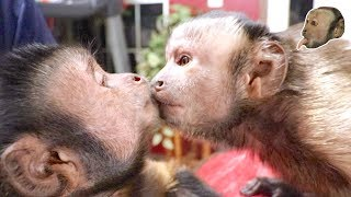 Capuchin Monkey Makes a New Friend! (FIRST MEETING)