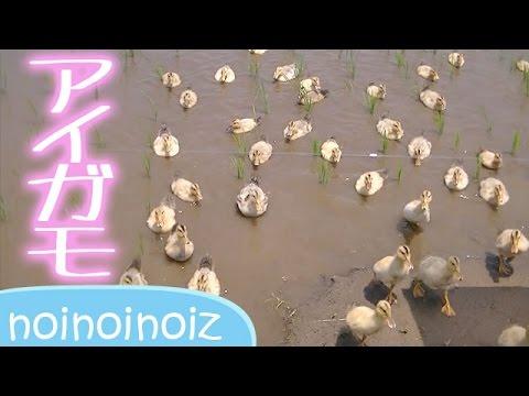 アイガモ軍団 合鴨農法 まだ黄色 Domestic duck Rice-duck farming