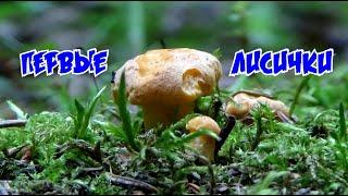 Первые лисички, белые грибы, летние опята, тсж, а также пустельга и рябчик. /Грибы вопреки зною/