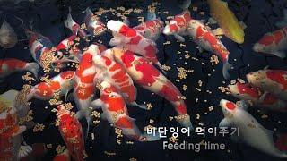 비단잉어 먹이주기(고화질)