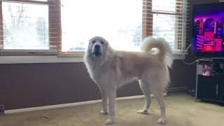 Living with a Great Pyrenees