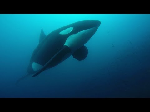 Diving with Orca Killer whale very close Galapagos 2015  filmed by GoPro