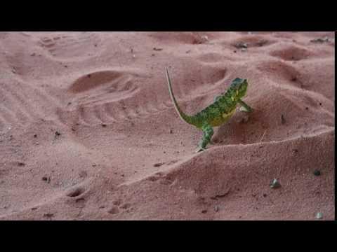 P4126179   Kameleon bij Kariba meer