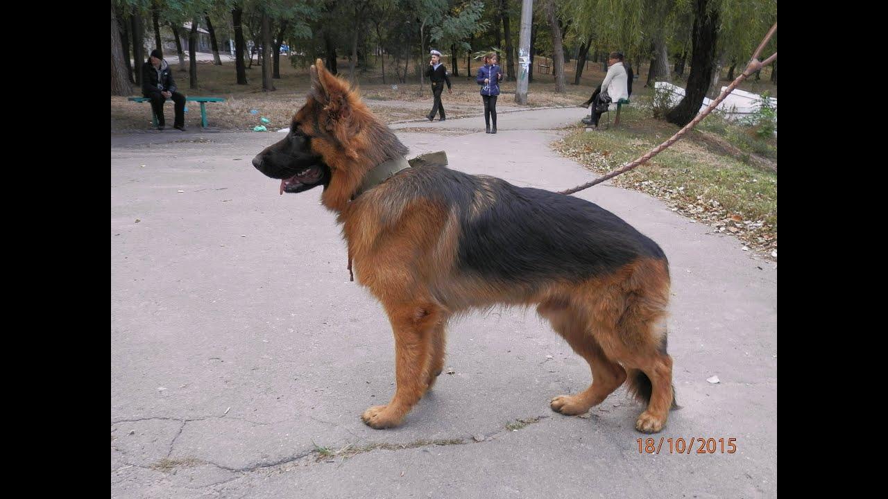 Продажа собак в украине ➤ доска объявлений besplatka. Ua поможет купить. Длиношерстые щенки немецкой овчарки,1месяц 2девочки и 2мальчика,