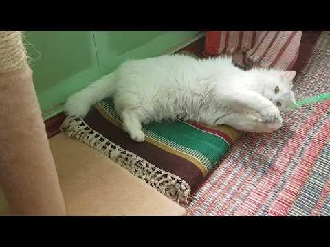 White Turkisn Angora cat