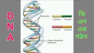 ডি এন এর গঠন এবং ক্রোমোজোমের রাসায়নিক উপাদান: মাধ্যমিক জীবন বিজ্ঞান দ্বিতীয় পর্ব (2)