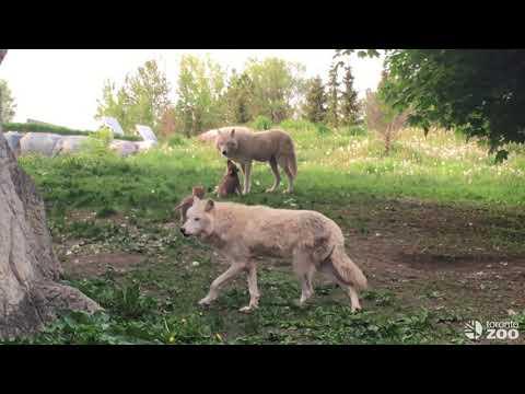 Wolf Pupdate- June 2019 Toronto Zoo