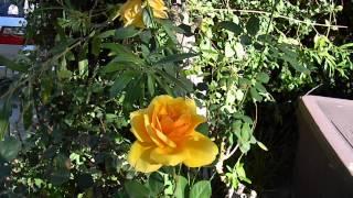 Joshua Bradley Hybrid Tea Rose