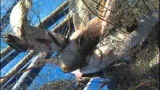 видео: браконьерский бум в Хабаровске.mpg