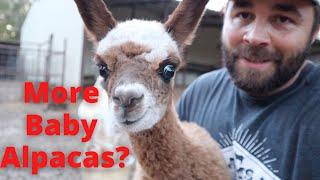 Could We Be Expecting Another Baby Alpaca Already?