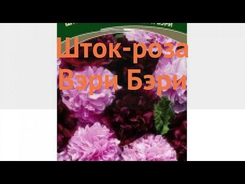 Роза обыкновенная Шток роза Вэри Бэри 🌿 обзор: как сажать, семена розы Шток роза Вэри Бэри