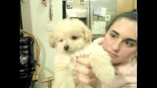 How To Train Your Puppy Not To Stop Biting - Vicious Cute Miniature Poodle Pup Wont Stop Biting!