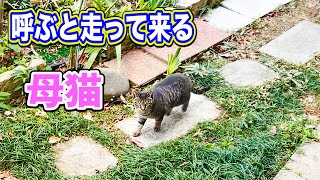 昔のように呼ぶと走って来る母猫に感動 Impressed by the running mother cat when called like in the old days