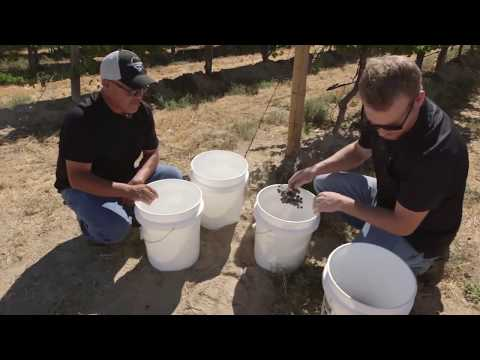 LIVE from Columbia Crest: Harvest in the Vineyard with Juan Uribe & Todd Chapman