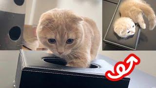 小さい頃と同じようにティッシュケースに入ろうと必死な短足猫w